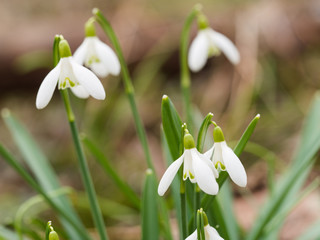 Galanthus (snowdrop) flowers blooming in the spring forest