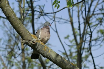 Portrait of grey colored wood pigeon sitting on a branch in a park on a sunny day, clear blue sky, springtime