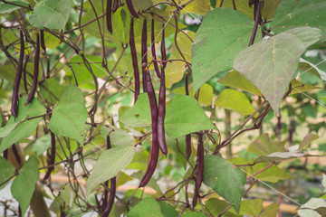 Red yard long bean plantation on field agricuture.
