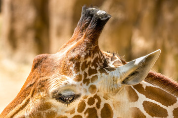 Giraffe close up