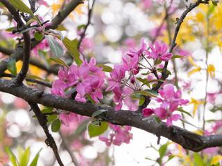 Dark pink blossom of a tree in springtime