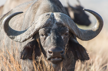 Cape buffalo, one of the most dangerous African animals.