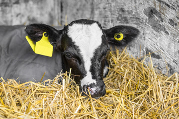 Calf with a yellow ear mark relaxing in the hay