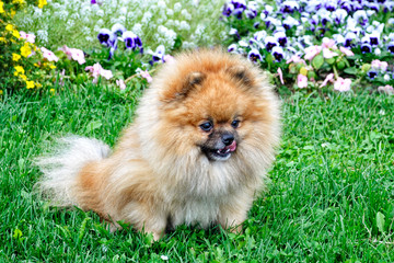 A nice Pomeranian doggy on a summer day on the grass on the background of flowers.