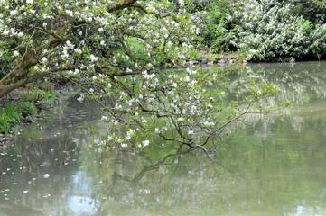 Magnolienblüte im Maschpark von Hannover