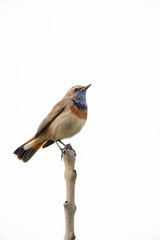 Bluethroat (Luscinia svecica) perching on top of a branch with a white background.