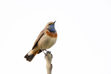 Bluethroat (Luscinia svecica) perching on the top of a branch with a white background.