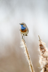 Bluethroat (Luscinia svecica) perching on a reed stalk.