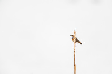 Bluethroat (Luscinia svecica) perching on reed with a white background.