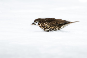 Fotoväggar - UK Song Thrush feeding in the snow