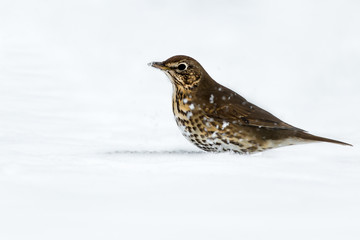 Fotoväggar - Song Thrush feeding in the Snow