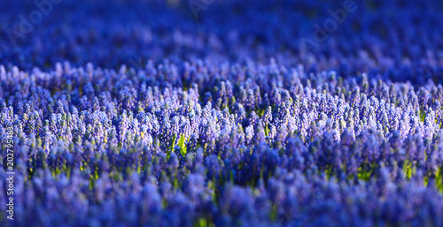 field of blue flowers stock photo and royalty free images on