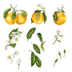 Orange plant set with fruit on branches, flowers, buds, leaves and tiny fruits