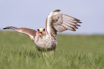 Close-up Portrait of a Hobby Falcon, Falco subbuteo, during feeding on the grass