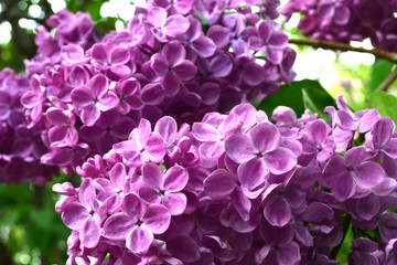 Lilac flowers and leaves. A view on a branch of a pink lilac in the garden, close up. Lilac blooms in the spring.