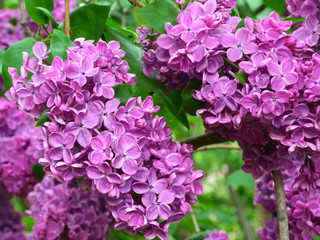 A branch of a pink lilac in the garden. Lilac blooms in the spring. Lilac flowers and leaves