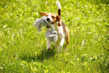 Beagle dog run and fun