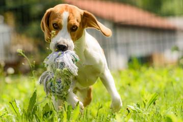 Beagle dog run and fun