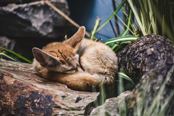 Sleeping Kit Fox