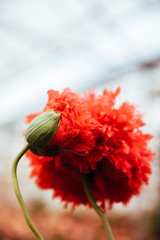 Opium red flower