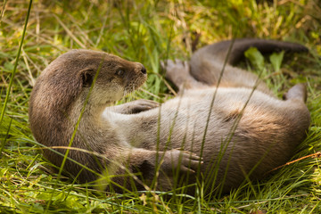 Lovely Eurasian otter (Lutra lutra) lying on back on the wet fresh grass near stream river and playing carefree while look cute and fill out all picture space of photography by its body of wave shape.