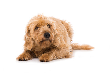 Ängstlicher Hund auf weißem Hintergrund