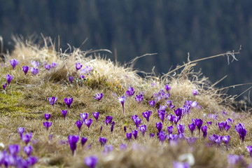 Beautiful view of marvelously blooming violet crocuses in the Carpathian mountains valley on bright spring morning. Ecology problems, protection of nature and beauty of life concept.