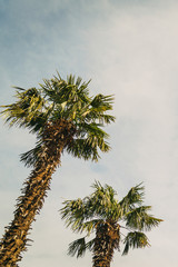 High palm trees against the clear sky