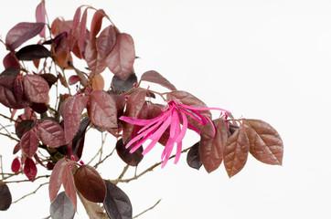 Bonsai-Detail: blühende Riemenblume (loropetalum chinense)