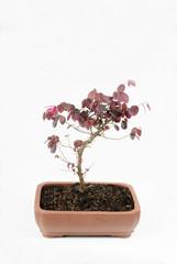 junger Bonsai, Riemenblume (loropetalum chinense)