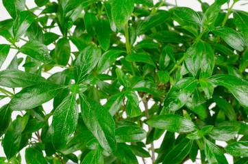 Laub eines Bonsai: Junischnee