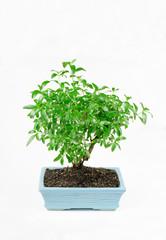 kleiner pre Bonsai, serissa foetida