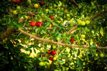 Acerola (Barbados cherry) tree