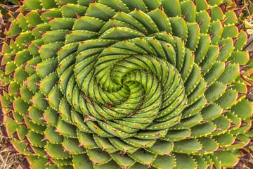 Photo sur Plexiglas Spirale Spiral Aloe - Lesotho traditional plant