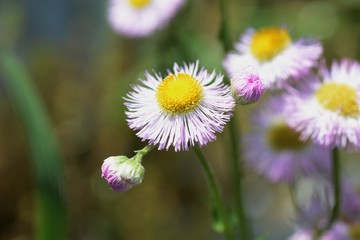 "Spring flowers on the roadsides and fields""Philadelphia fleabane"""