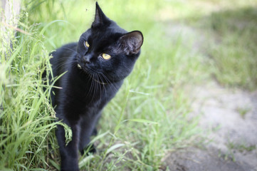 Black cat in green grass in the garden