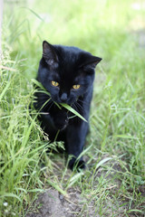 Black cat eating green grass in the garden