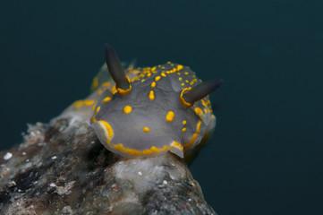 Invertebrate yellow walking on the sponge