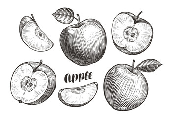 Hand-drawn apples and slices, sketch. Fruit concept. Vintage vector illustration