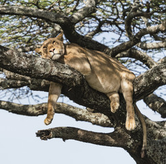 Lazy Lion - A female lion relaxes by hanging on a tree branch and avoids the swarms of insects. Ndutu, Ngorongoro Conservation Area, Arusha, Tanzania, Africa.
