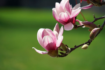 violet magnolia flower blossom in spring