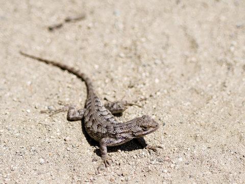 Lizard posing for a photo