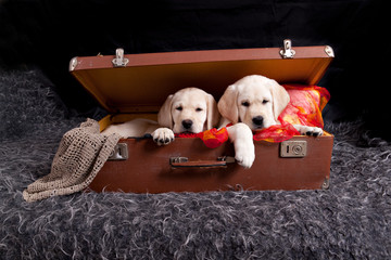 Two labrador puppies sitting in old vintage suitcase