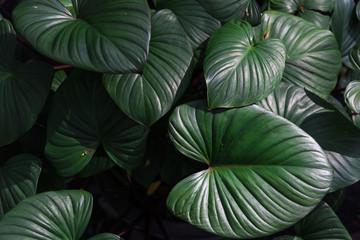 Beautiful dark green leaves in a jungle