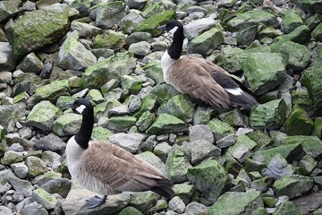 Geese on Green Rocks