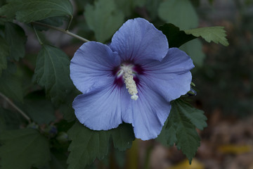 Blue Satin Hibiscus with Red Center