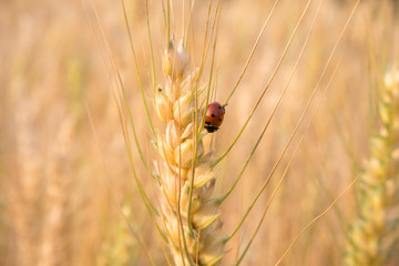 Ladybird in barley field