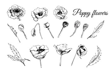 Set hand drawn graphic  sketch  of poppy flowers, buds and leaves isolated on white  background. Vector illustration