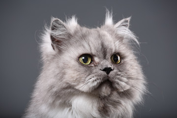 Beautiful gray Persian cat