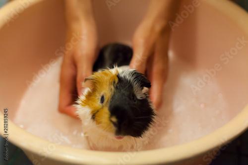 selective focus on white, black, orange brown guinea pigs